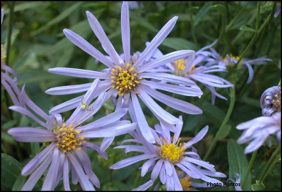 Un giardino di perenni in ticino astro estivo - Aster pianta ...