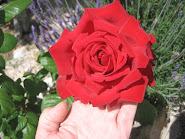 Siempre una rosa roja.