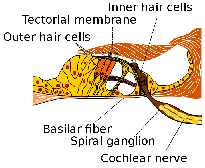 Image showing hair cells