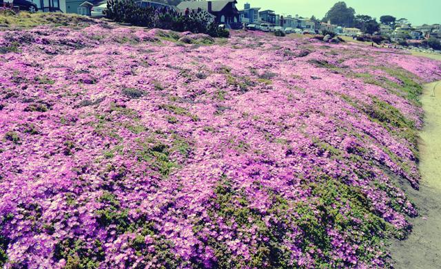 monterey purple flowers
