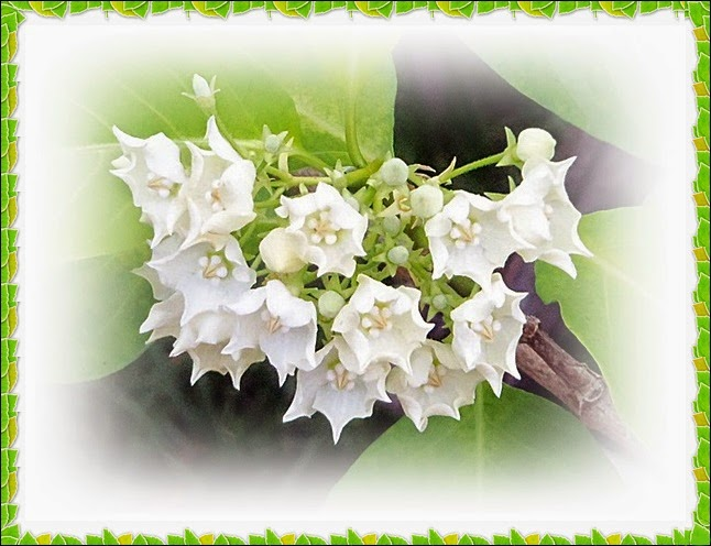 จ้ำจี้...ดอกไม้ไทย