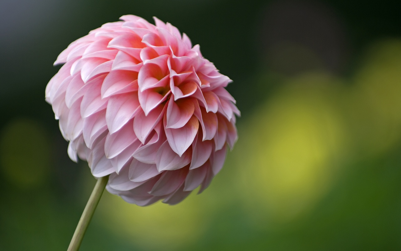 flowers wallpaper dahlias flowers wallpaper dahlias flowers wallpaper