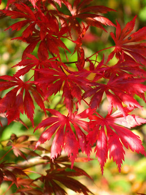 Acer palmatum Trompenburg Japanese maple fall foliage at Toronto Botanical Garden by garden muses-not another Toronto gardening blog