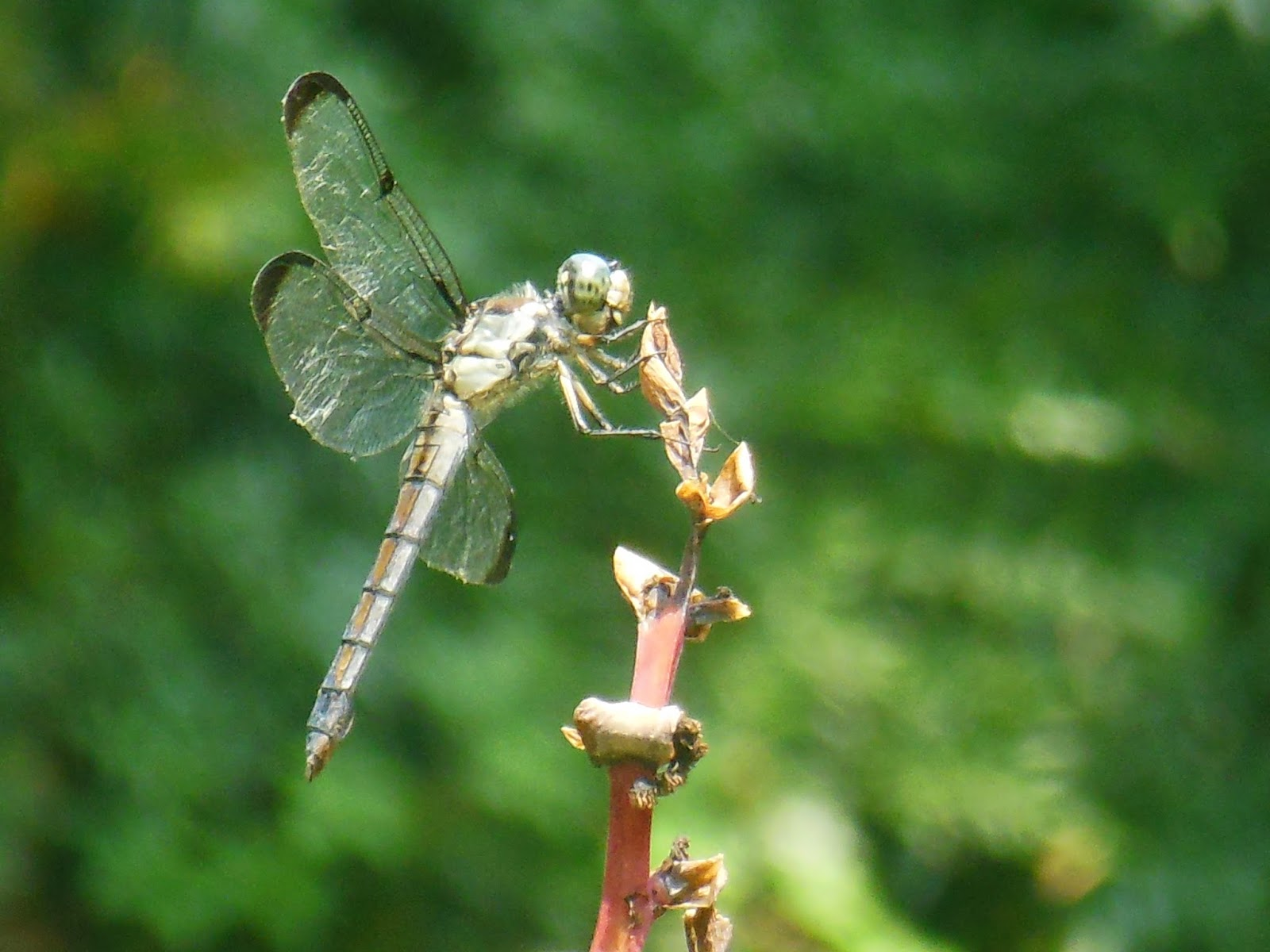 The Mind Of Aquarius Symbolic Qualties Of The Dragonfly Damselfly