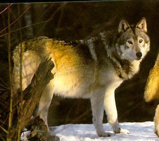 Foto del lobo