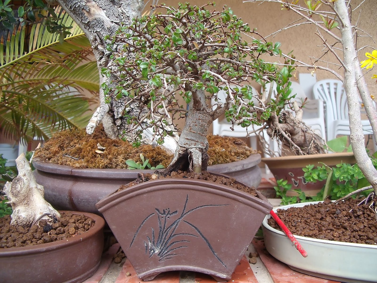 Jardin de los inmortales bonsai for Bonsai de jardin