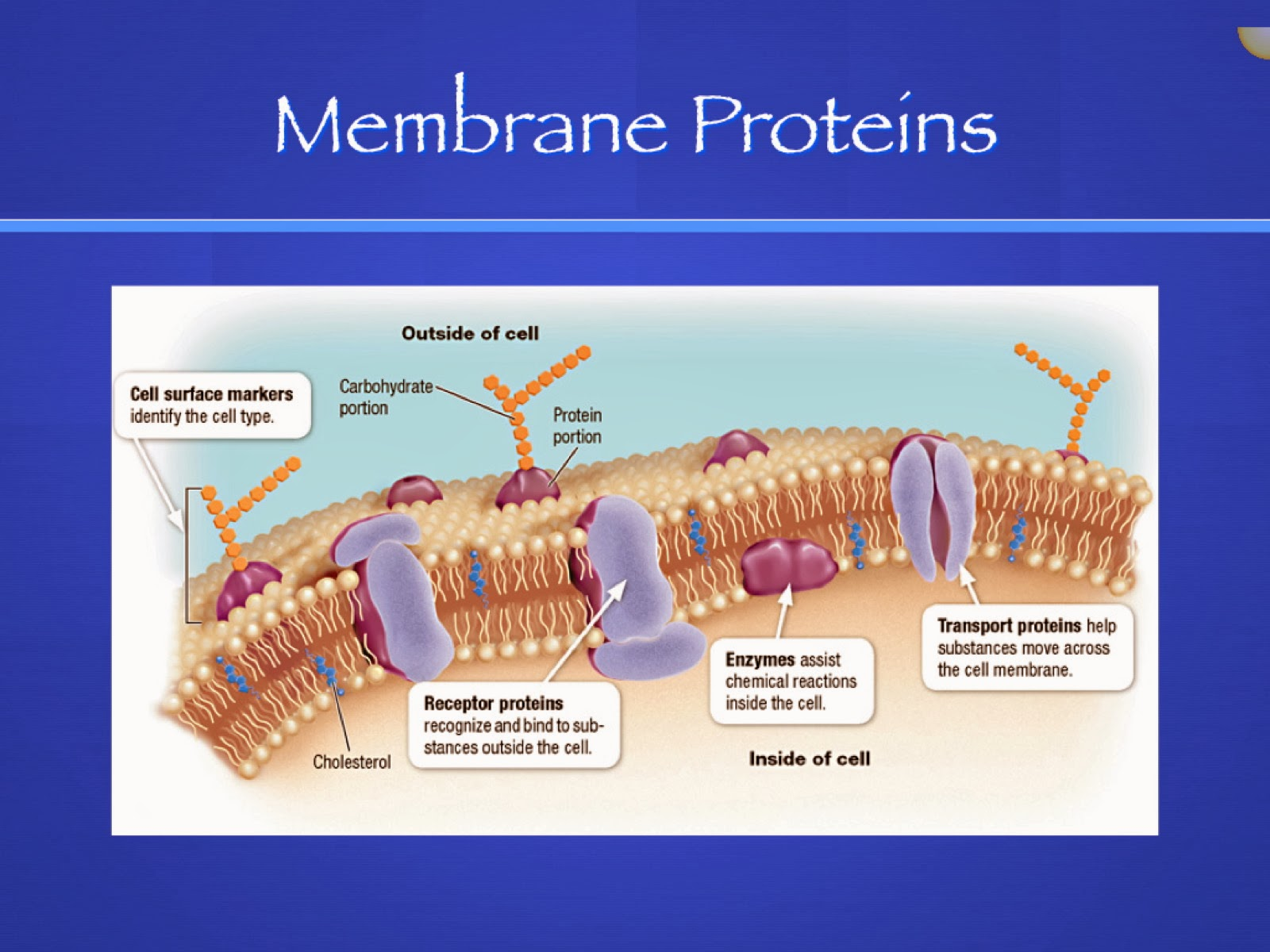 an introduction to the analysis of the cell membrane This animation shows you the function of plant and animal cells for middle school and high school biology, including organelles like the nucleus, nucleolus, .