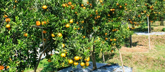 Genial Integrated Management Of Healthy Citrus Gardens