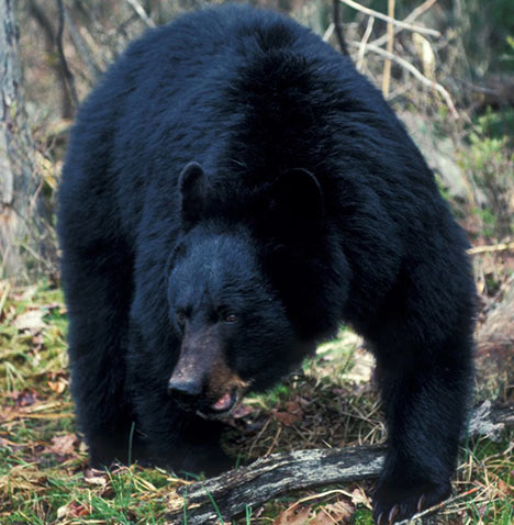 Black Bear Some Facts With New Photographs The Wildlife