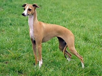 Levrier Italiane - Levriero Italiano - Italian Greyhound