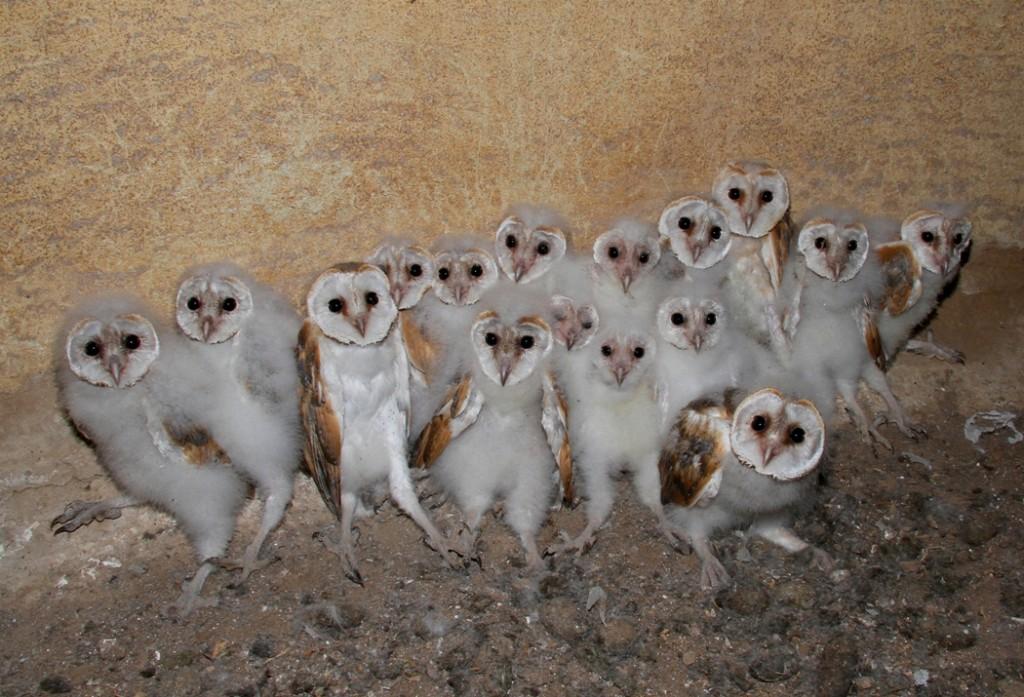 Owl Storytelling Quando L Amore Raddoppia Il Barbagianni