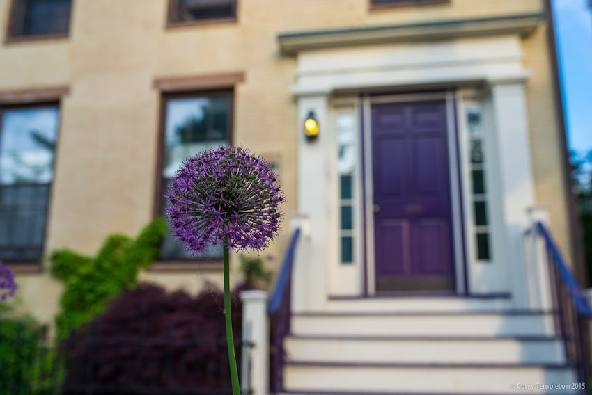 Portland, Maine USA June 2015 Danforth Street purple flower and door photo by Corey Templeton.