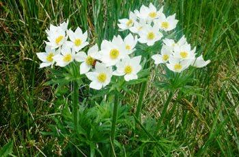 Anemonastrum narcissiflorum(Anemone narcissino))