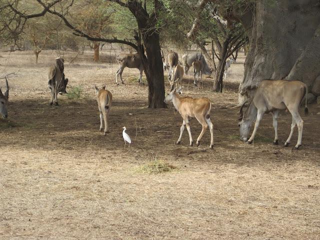 Gacelas en la Reserva de Bandia, Senegal