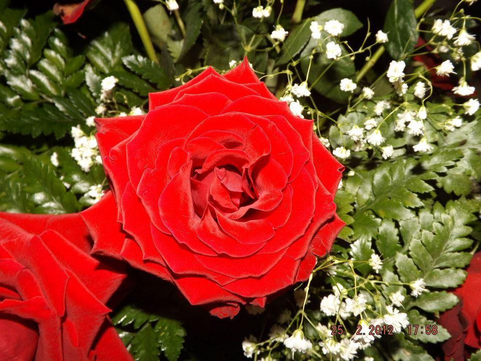 Il vivaio come potare le rose for Potare le rose
