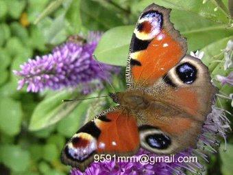 mariposa Pavo real