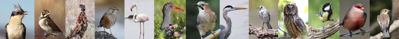 Aves - tira