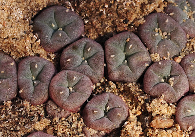 Purple peyote seedlings - a sign of extreme conditions