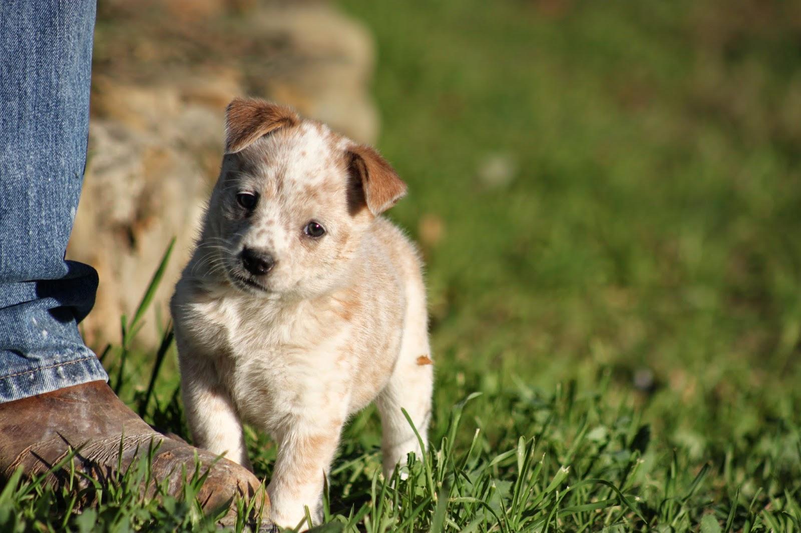 queensland heeler puppies for sale puppyfind com queensland heeler ...