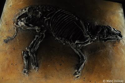 esqueleto de Propalaeotherium