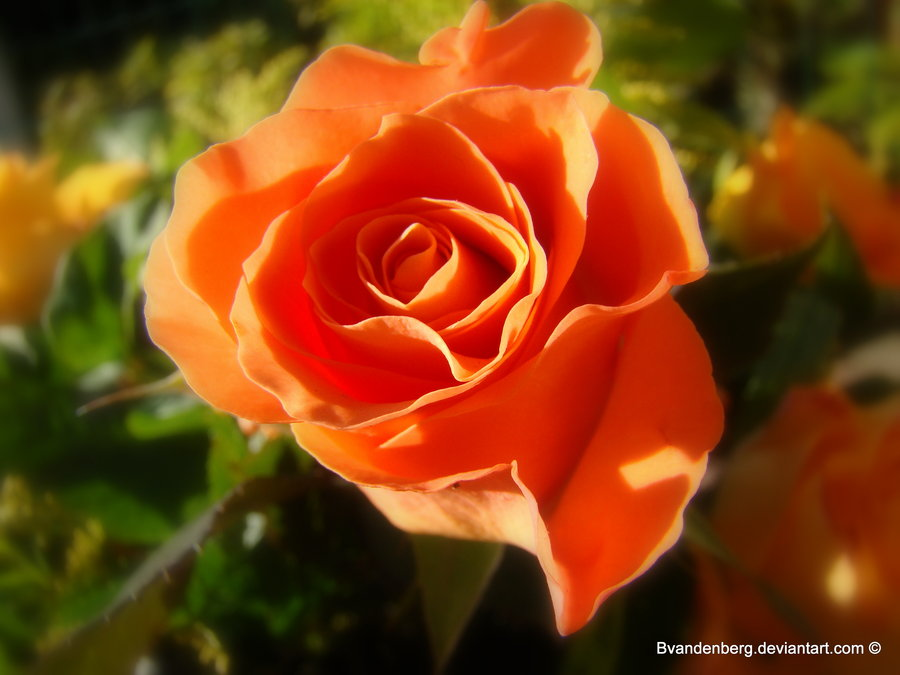 Meaning or orange rose white gold for The meaning of orange roses