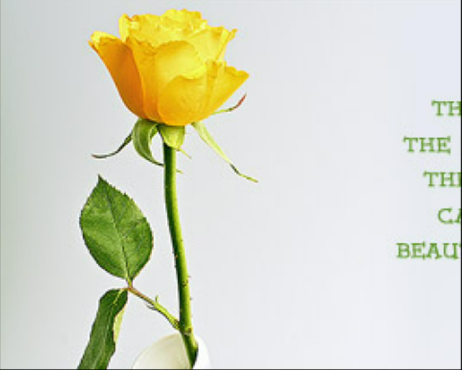 Yellow rose friendship quotes quotesgram for What color is the friendship rose