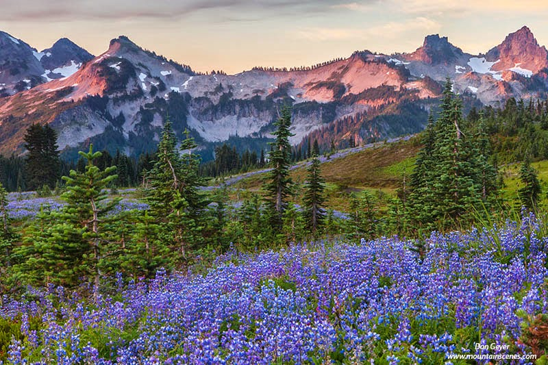 Early light on the Tatoosh Range above lupine meadows on Mazama Ridge, Mount Rainier National Park, Cascade Range, Washington, USA.