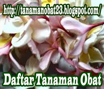Tanaman Obat Kamboja  (Plumeria rubra L.cv. Acutifolia.)