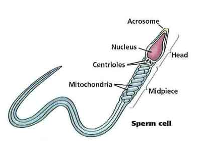 spermatogenesis thesis