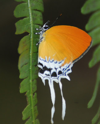 Branded Imperial (Eooxyloides tharis distanti)
