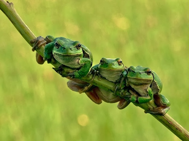 "<img src=""http://1.bp.blogspot.com/-ZFPlUoEwcd4/Uq9gi_RjwnI/AAAAAAAAFx4/W-1cv-6Pw1k/s1600/yrr.jpeg"" alt=""Frogs Animal wallpapers"" />"