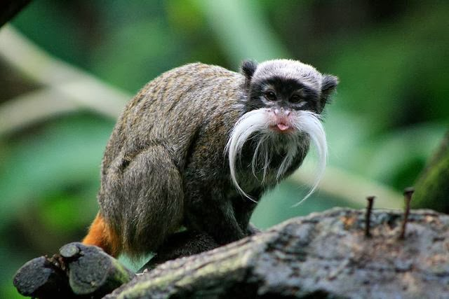 Emperor Tamarin Animals Interesting Facts & New Pictures