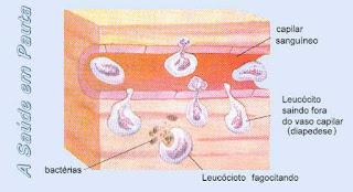 Leucócitos ou Glóbulos Brancos fazendo fagocitose e diapedese.