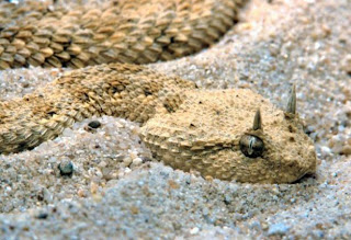 best animal photography, Desert Horned Viper, Cerastes cerastes, Endangered snakes