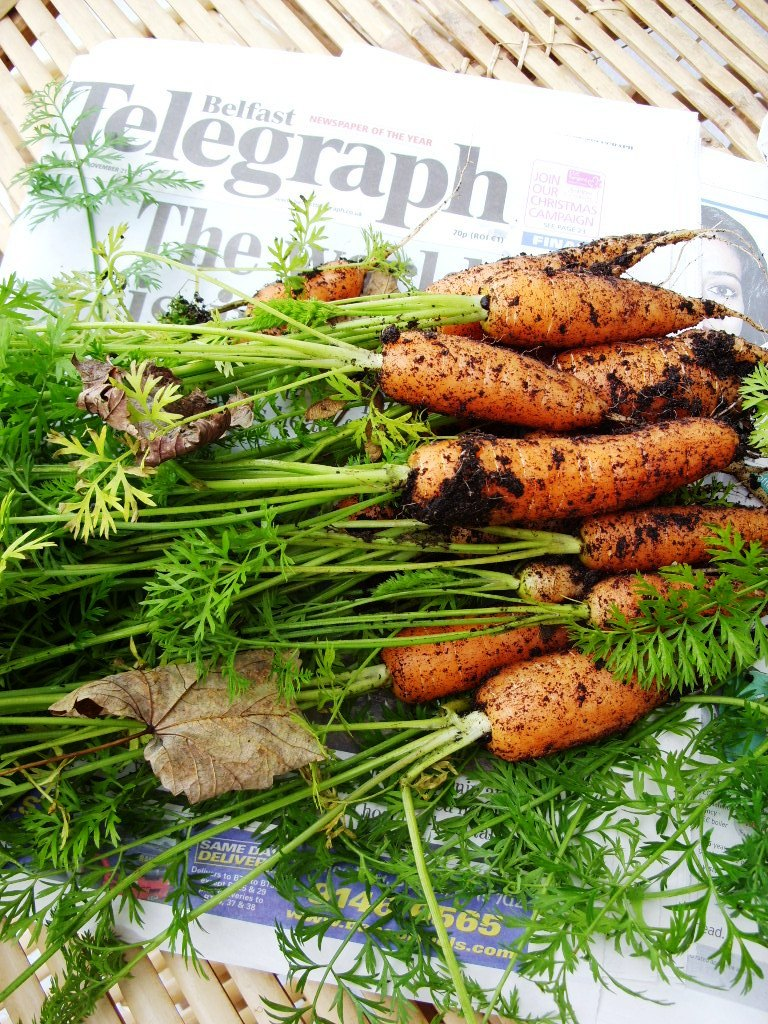 Was harvesting carrots this week on a rather chilly morning