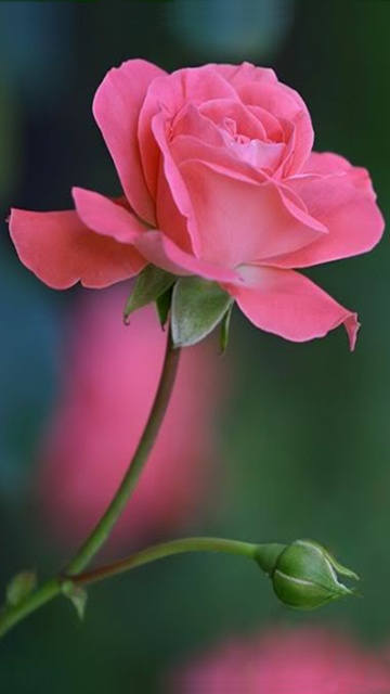 Latest Collection Of Rose Wallpapers For Mobile Screen Including Red Pink Love Pic