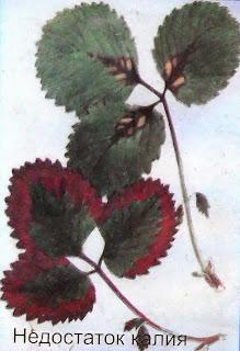 клубника - недостаток калия