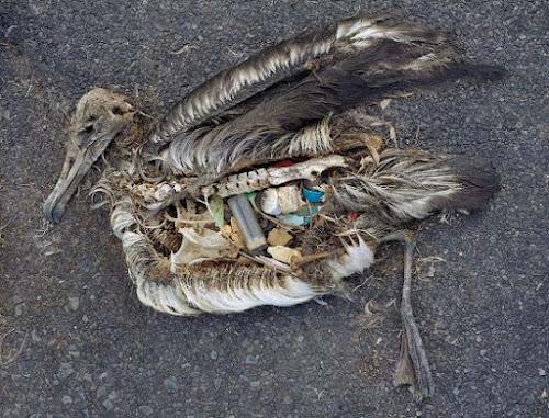 Por que as aves marinhas comem plástico