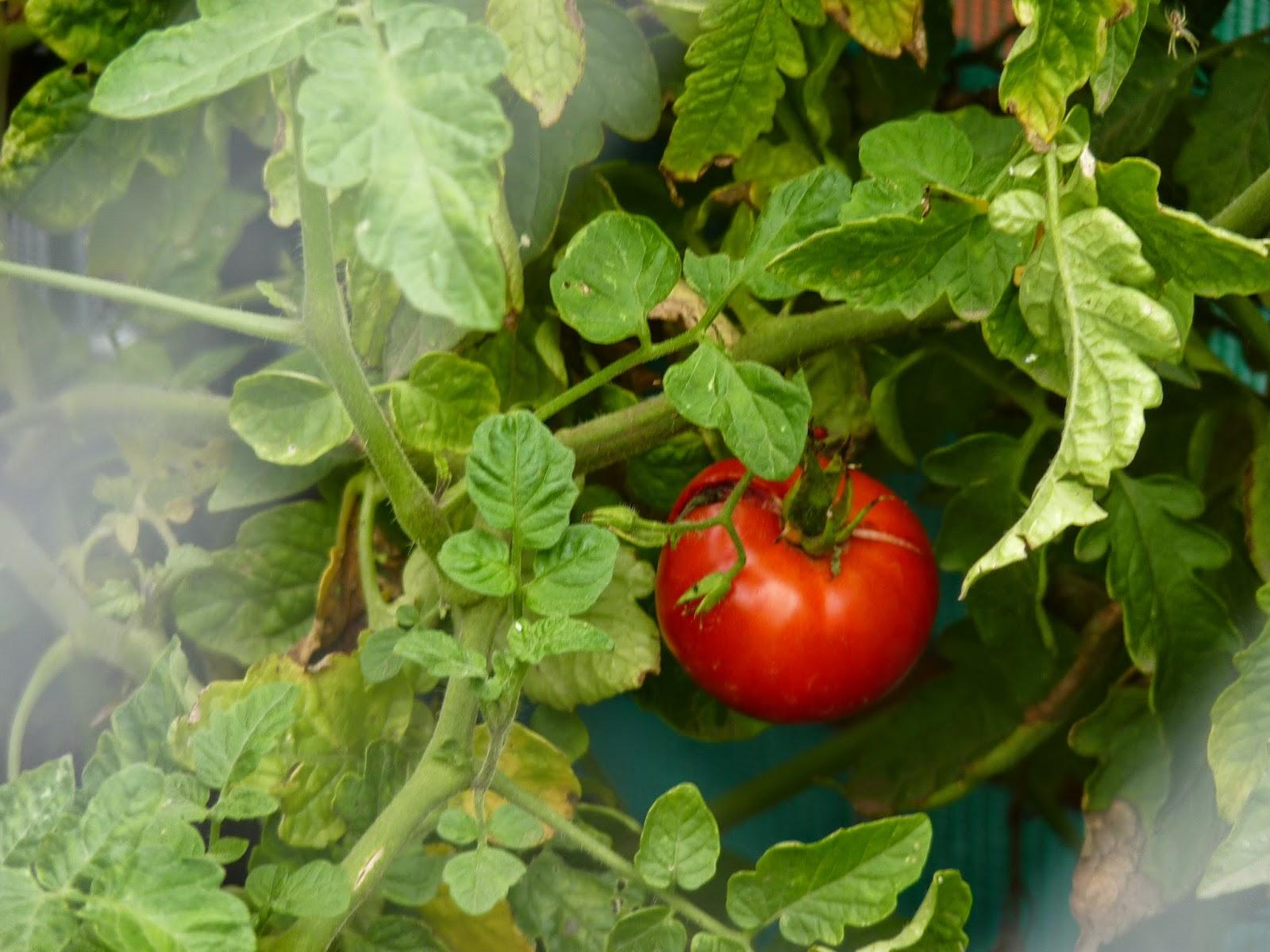 Todo huerta gu a pr ctica para la huerta org nica for Asociacion de cultivos tomate