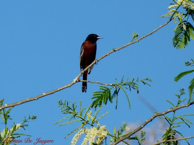 Orchard Oriole Icterus spurius birdwatching Nicaragua