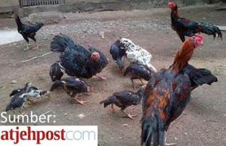 Ayam burma aduan berharga jutaan rupiah di Aceh