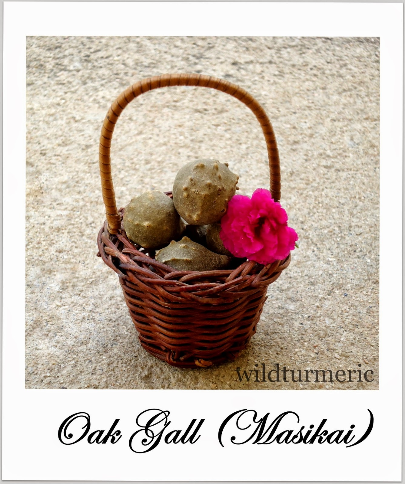Oak Gall | Masikai Medicinal Use: Home Remedy For Mouth Ulcers (Vai Pun)