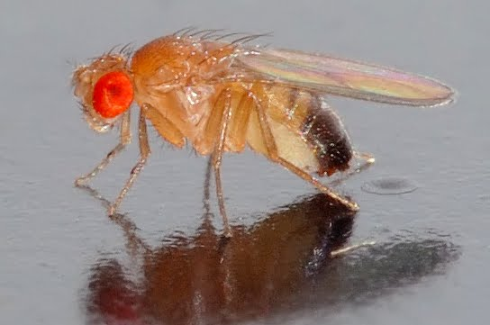 What+does+fruit+fly+larvae+look+like