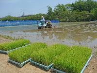 苗代田で育てた稲の苗を田んぼに移植した。