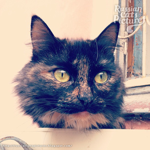 Domestic Instacats: Tortoiseshell Kitty Cat 01