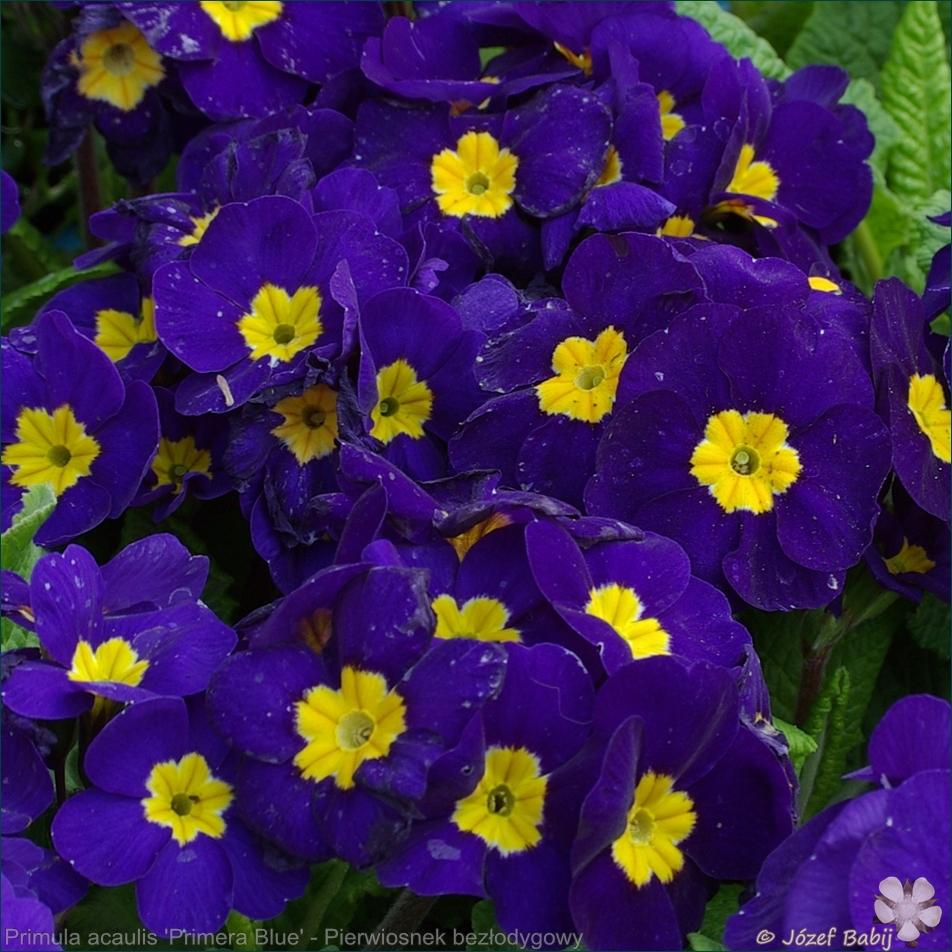 Primula acaulis (vulgaris) 'Primera Blue' - Pierwiosnek bezłodygowy