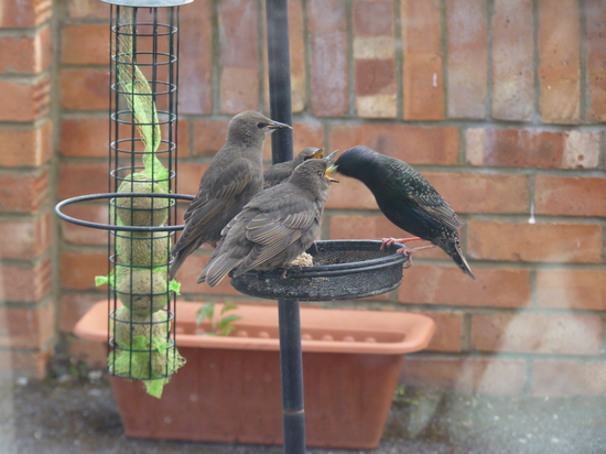 Whoopidooings: Mama Starling and her babies