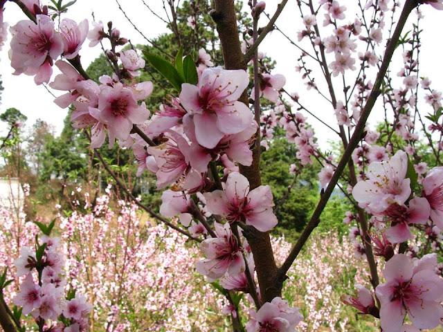 Melocotoneros - Durazneros en flor