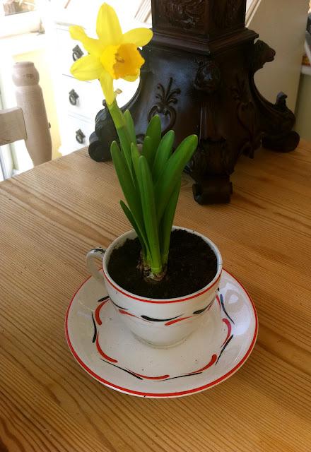 daffodil teacup