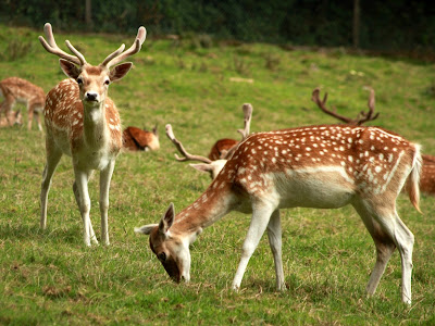 Deer in Dartmoor Zoological Park.